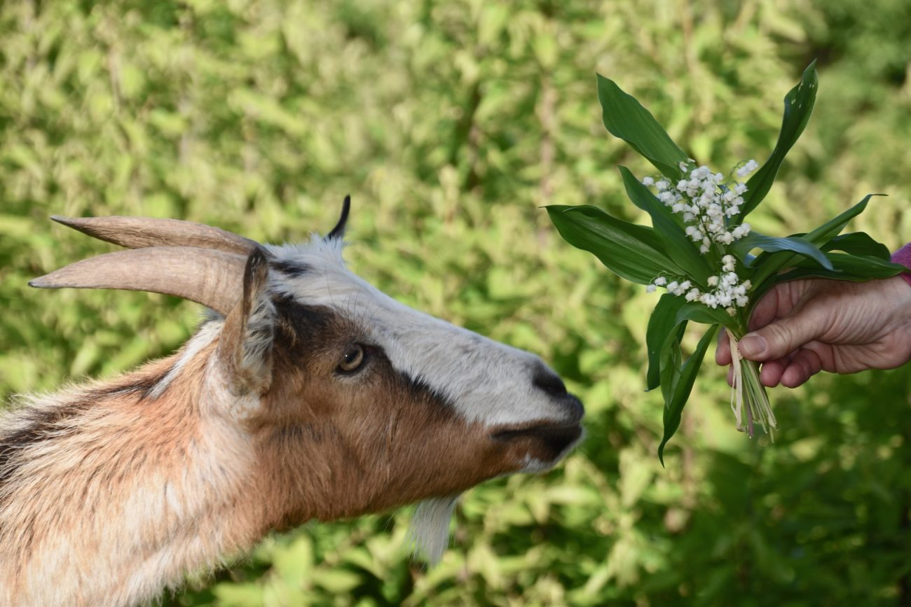 goat weed
